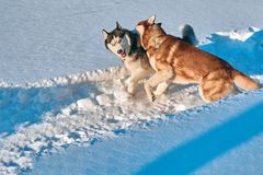 Dogs have fun playing in snow. Siberian husky bite and fight. Evening lighting. Stock Photo