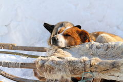 Dogs have a rest near nart Stock Images