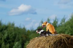 Dogs in the hay. Border Collie and Staffordshire Terrier on hay rolls. Dog in the manger. Summer. Stroll. Field. Hay. Dog. Nature. Border collie and the stock photo