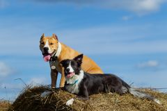 Dogs in the hay. Border Collie and Staffordshire Terrier on hay rolls. Dog in the manger. Summer. Stroll. Field. Hay. Dog. Nature. Border collie and the royalty free stock image