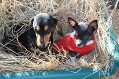 Dogs in Hay Wagon Royalty Free Stock Photo