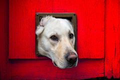 Dog with head through cat flap against red wooden door royalty free stock photo