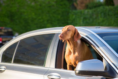 Dogs Head out of a Window royalty free stock image