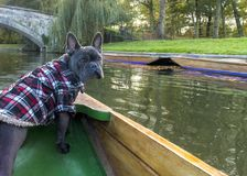 Dogs on holiday. Family pet french bulldog enjoying a trip traverling on a river in a boat called a punt, copy space and text royalty free stock image