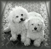 Dogs At Home. Cute little dogs relaxing close together at home, posing in front of the camera Royalty Free Stock Image