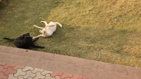 Dogs in the home lawn.  stock video footage