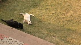 Dogs in the home lawn.  stock footage