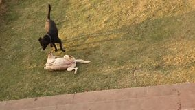 Dogs in the home lawn.  stock video