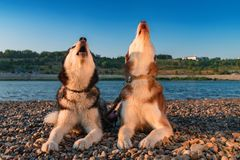 Dogs howl. Two Siberian huskies raised their faces up and howled. Husky sing song. stock photo