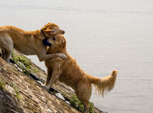 Dogs hugging Royalty Free Stock Image