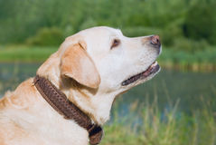 Dogs hunting-  retriever Royalty Free Stock Photos