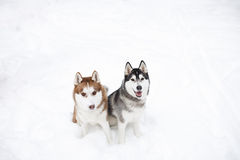 Dogs huskie black red. Brown winter white Royalty Free Stock Image