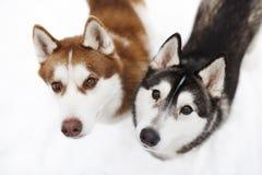 dogs huskie black red royalty free stock photos