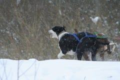 dogs husky tävlings- Arkivbild