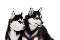 dogs husky två Arkivbild