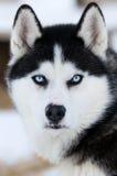 dogs huskyen Royaltyfria Foton