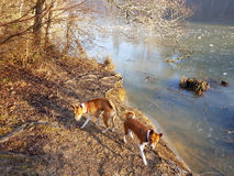 Dogs by icy lake Royalty Free Stock Photography