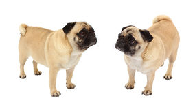Dogs isolated Royalty Free Stock Images