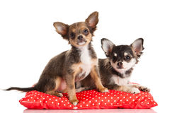Dogs isolated on white background Stock Photography