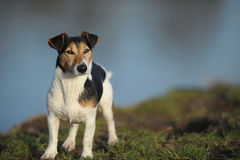 Dogs Jack Russel. Portrait of an Jack Russel male Royalty Free Stock Photography