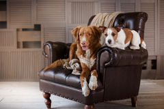 Dogs Jack Russell Terrier and Nova Scotia Duck Tolling Retriever lying on the leather chair in interior loft Stock Images