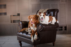 Dogs Jack Russell Terrier and Nova Scotia Duck Tolling Retriever lying on the leather chair in interior loft Stock Image