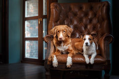 Dogs Jack Russell Terrier and Nova Scotia Duck Tolling Retriever portrait on a studio color background, Royalty Free Stock Images
