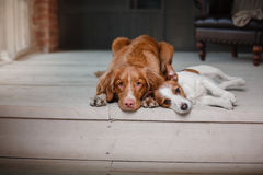 Dogs Jack Russell Terrier and Nova Scotia Duck Tolling Retriever portrait on a studio color background Stock Images