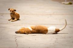 dogs jamaica royaltyfria bilder