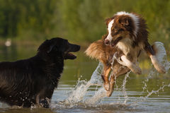 Dogs are jumping in water. Two Australian Shepherd playing in the water, one of them is jumping high and seems surprised Royalty Free Stock Photography