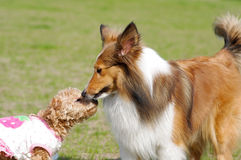 Dogs kiss. Shetland sheepdog and teddy playing in the park Royalty Free Stock Images