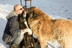 Dogs kissing the owner. Two big dogs kiss their owner stock photos