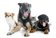 Dogs and kitten. Malinois, rottweiler kitten and chihuahua on a white background Stock Photo