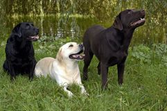 dogs labrador royaltyfria foton