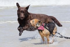 Dogs playing on the beach royalty free stock photography