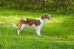 Dogs on a lawn Royalty Free Stock Photography
