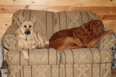 Dogs laying on sofa. Dogue de bordeaux and dog laying on love seat Royalty Free Stock Photography