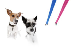 Dogs with leash waiting for a walk royalty free stock photo