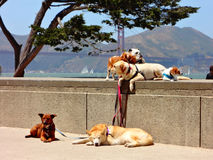 Dogs on Leashes in San Francisco Royalty Free Stock Images
