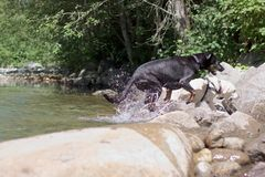Dogs leaving creek splashing crazily Stock Photo