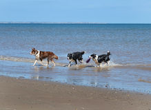 Dogs leaving the sea. Royalty Free Stock Photos