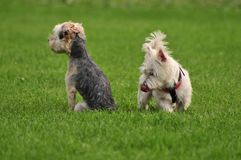 Dogs licking on green background small dogs. Small dogs funny licking on green grass background not looking at eachother royalty free stock photo