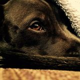 A dogs life. Snuggled up under a warm blanket after a Stock Image