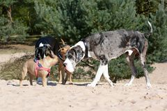 Dogs like merle colored Great Dane and small fawn French Bulldog meeting up at a dog park stock image
