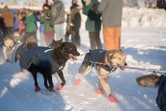 Dogs on the line. FAIRBANKS, ALASKA - FEBRUARY 3, 2018: Dogs from veteran Hugh Neff`s team stare intently down the trail of the Yukon Quest Stock Images