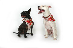 Dogs Listen. Happy dogs making funny faces on white background. Two Dogs, one white and one black stock photos