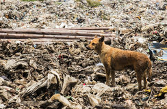 Dogs live in garbage Stock Image