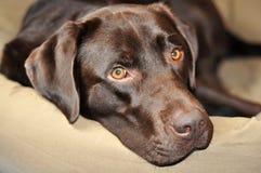 Dogs look. Portrait of a chocolate Labrador Retriever Stock Photos