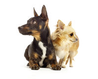 Dogs looking away from each other white background Stock Photos
