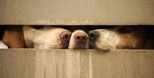 Dogs looking through fence. Three dogs looking and sticking their noses through a fence Royalty Free Stock Photos